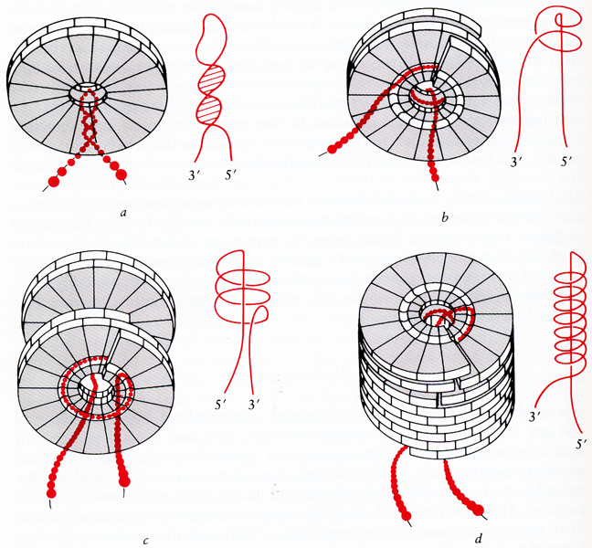DIAGRAM :: Stages in the Self-Assembly of Tobacco Mosaic Virus