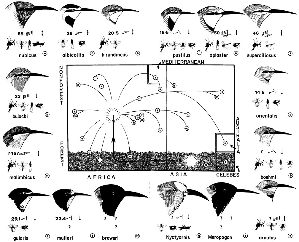 diagram    a scheme for the evolution of the meropidae